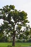 与绿色领域-环境的一棵巨大的印度楝树 库存图片