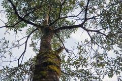 与绿色mos的大树 免版税库存照片
