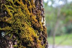 与绿色mos的大树 免版税库存图片