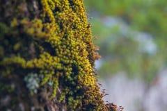 与绿色mos的大树 图库摄影