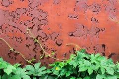 与绿色vining的植物的生锈的红色破裂的油漆背景离开老金属纹理 免版税库存图片