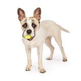 与网球的嬉戏的杂种狗 库存照片