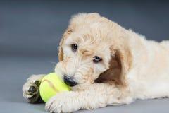 与网球的小狗 库存图片