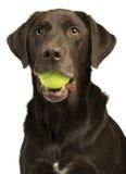 与网球的狗 库存照片
