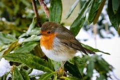 与罗宾的圣诞节场面在多雪的背景 库存图片