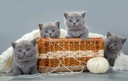 与羊毛球的英国小猫在篮子的 免版税图库摄影