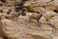 与羊羔圆顶礁国家公园的母沙漠大角野绵羊 库存图片
