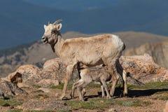 与羊羔护理的大角野绵羊母羊 图库摄影