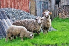 与羊羔的两只绵羊 免版税库存照片