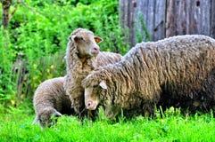与羊羔的两只绵羊 图库摄影