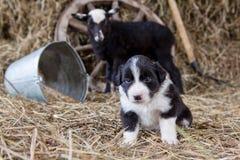 与羊羔的博德牧羊犬小狗 库存图片