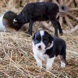 与羊羔的博德牧羊犬小狗 免版税库存图片