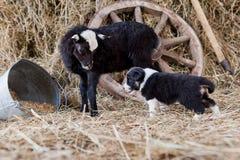 与羊羔的博德牧羊犬小狗 免版税图库摄影