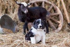 与羊羔的博德牧羊犬小狗 免版税库存照片
