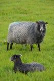 与羊羔的哥得兰岛母羊 免版税图库摄影