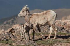 与羊羔的大角野绵羊母羊 免版税库存图片