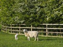 与羊羔的母羊由篱芭 免版税库存照片