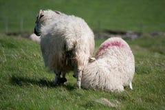 与羊羔的爱尔兰绵羊 免版税库存图片