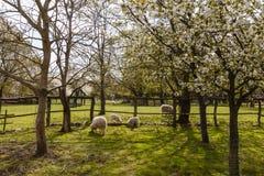 与羊羔的绵羊在春天 图库摄影