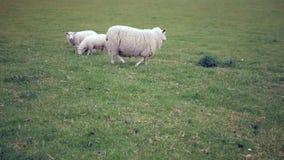 与羊羔的绵羊在草甸走 股票视频