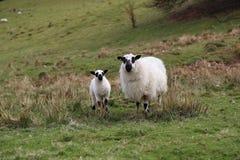 与羊羔的绵羊 免版税图库摄影