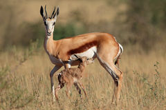 与羊羔的跳羚 免版税库存照片