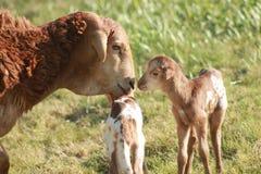 与羊羔的非洲绵羊 免版税库存图片