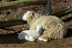 与羊羔的绵羊在农村农场 免版税库存照片