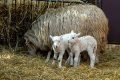 与羊羔的绵羊在农村农场 库存图片