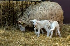 与羊羔的绵羊在农村农场 图库摄影