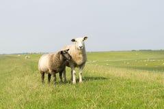 与羊羔的绵羊在堤堰 库存图片