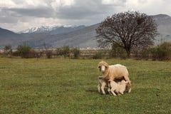 与羊羔的绵羊在山背景 免版税库存照片