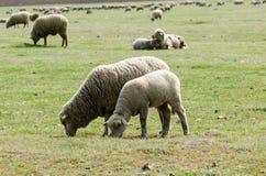 与羊羔的绵羊在群附近 库存照片
