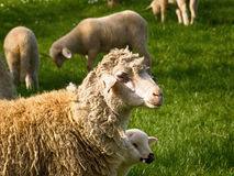 与羊羔的绵羊,在她后掩藏 免版税库存照片