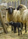 与羊羔的绵羊 免版税库存图片