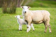 与羊羔的绵羊 库存图片