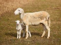 与羊羔的Scheep 库存图片