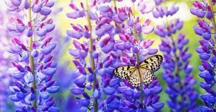 与美丽和五颜六色的蝴蝶的自然全景背景在夏天庭院里坐明亮的丁香,紫色和 免版税库存照片