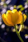 与美丽的厚实的瓣的黄色双重郁金香 免版税图库摄影