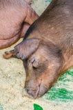 与美丽的口鼻部的一只哺乳动物 免版税库存图片