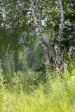 与美丽的叶子的俄国白桦树在一个晴天 库存图片