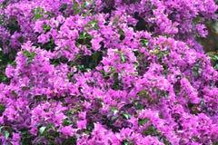 与美丽的叶子的开花的紫色九重葛背景 库存照片
