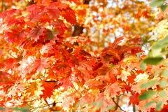 与美丽的叶子的橡木分支 免版税库存照片