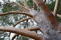 与美丽的吠声特写镜头的树 库存照片