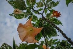与美丽的大黄色花的路线Brugmansia 免版税库存图片