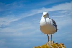 与美丽的天空的天际的海鸥和海在a栖息 库存图片