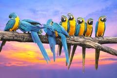 与美丽的天空的蓝色和黄色金刚鹦鹉在日落 免版税库存图片