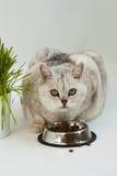 与美丽的嫉妒的大清楚的猫 免版税库存照片