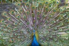 与美丽的尾巴的叫喊的孔雀 库存图片