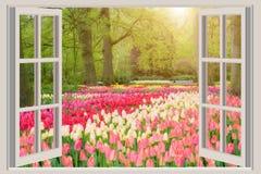 与美丽的春天郁金香花园的窗口在Netherland 库存图片